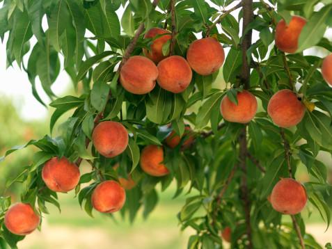 В Краснодарском крае снизится урожай персиков